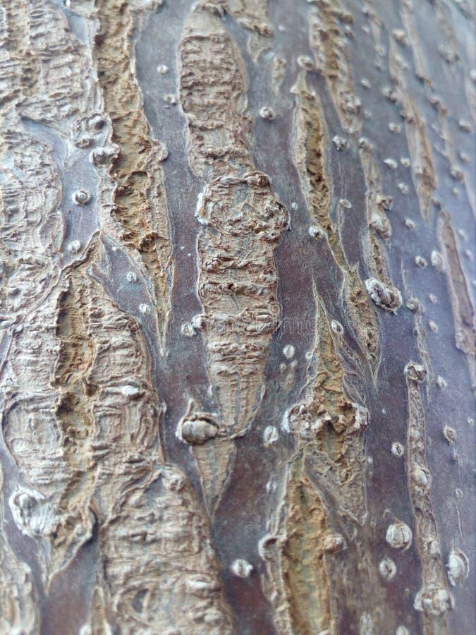 Un arbre de paulownia photo libre de droits