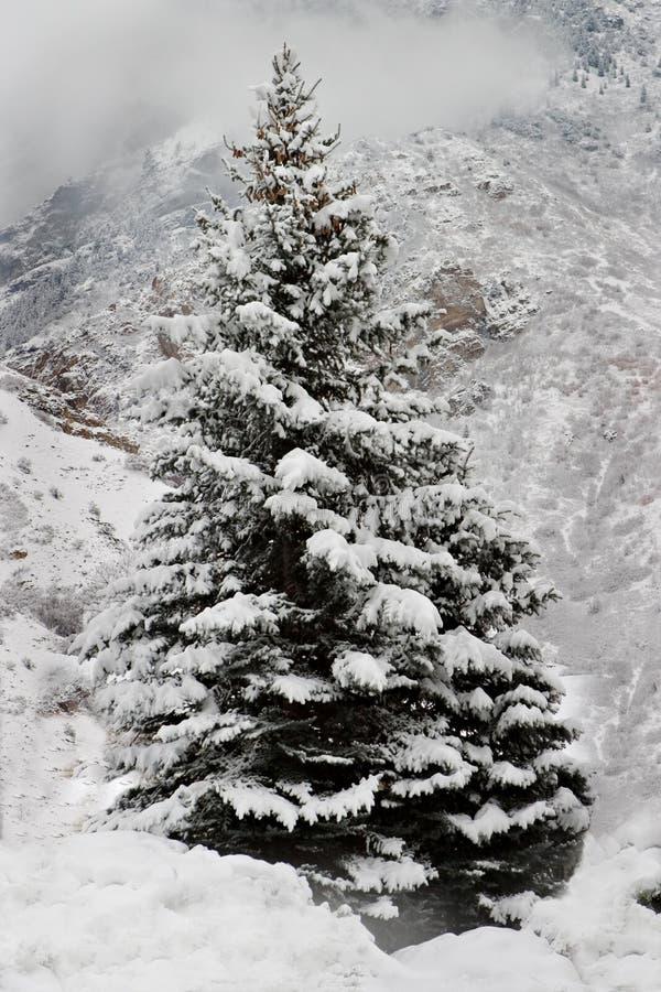 Un arbre de pin Snow-Covered dans les montagnes photos stock