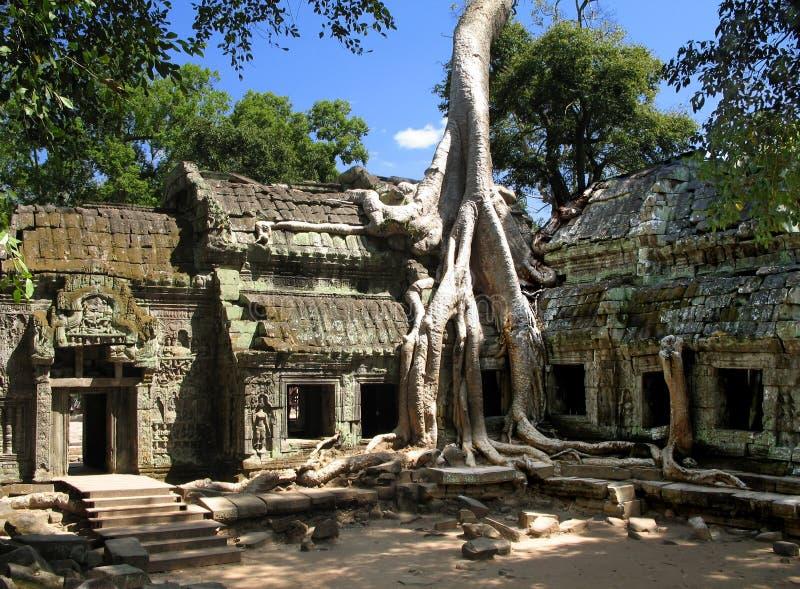 Un arbre de soie-coton absorbe les ruines antiques de Ta Prohm, Angkor, Cambodge images libres de droits