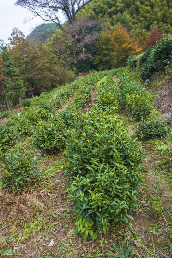 Un arbre de thé planté sur un flanc de coteau photo stock