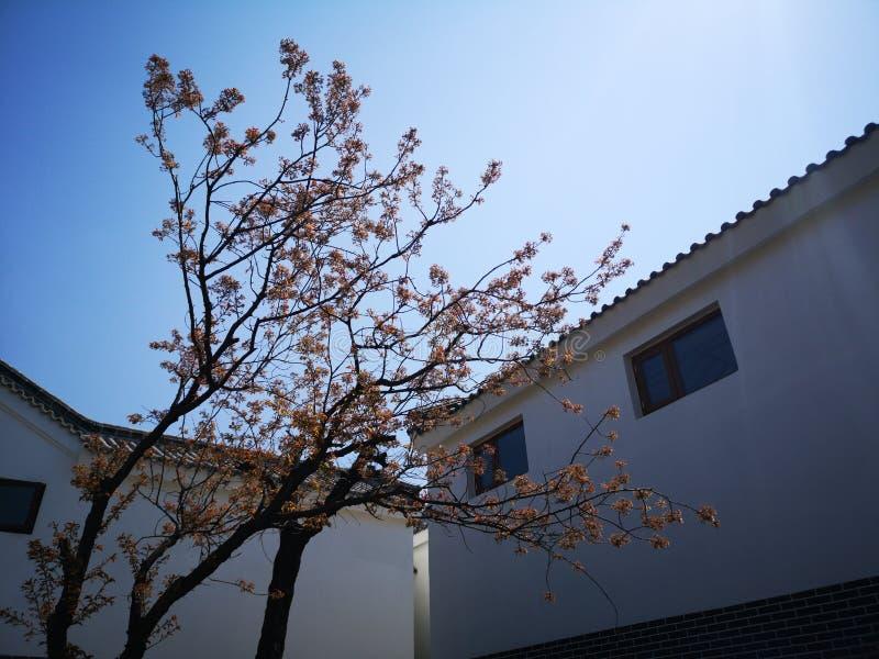 Un arbre est dans la cour au printemps image stock