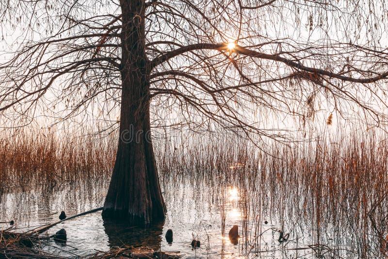 Un arbre isolé sur les rivages du policier de lac, coupures de coucher du soleil par les branches nues Saison de l'hiver Photo de photographie stock