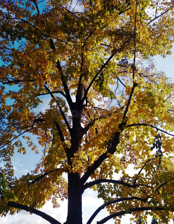 Un arbre jaune et un ciel bleu à l'arrière-plan photos stock