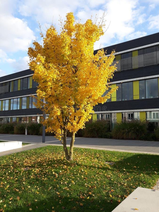 Un arbre jaune solitaire présente sa couleur photos stock