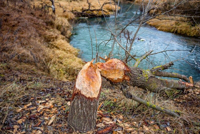 Un arbre mordu par des castors images libres de droits