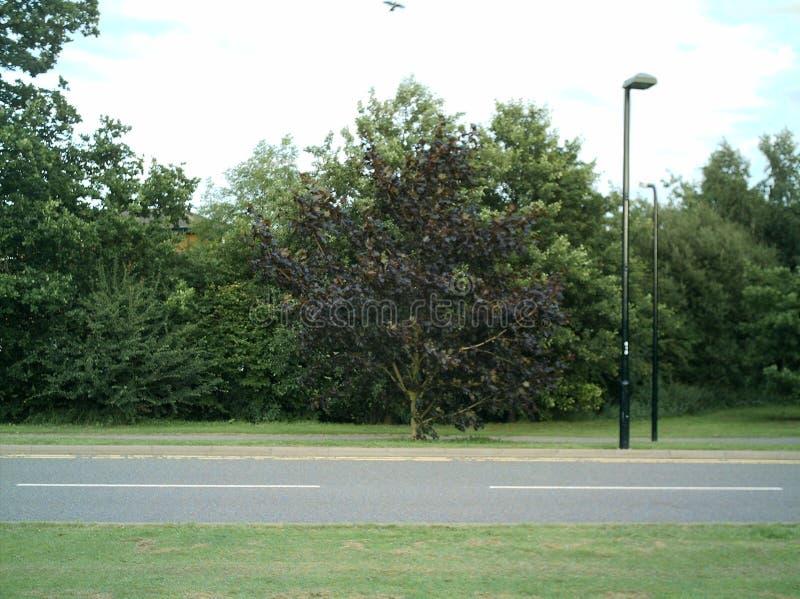 Un arbre pourpre par le bord de la route photo libre de droits