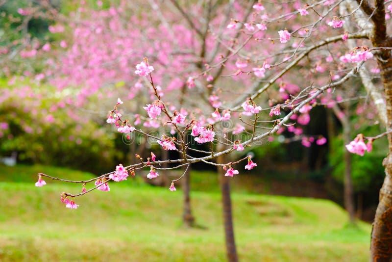 Un arbre rose de fleur images libres de droits