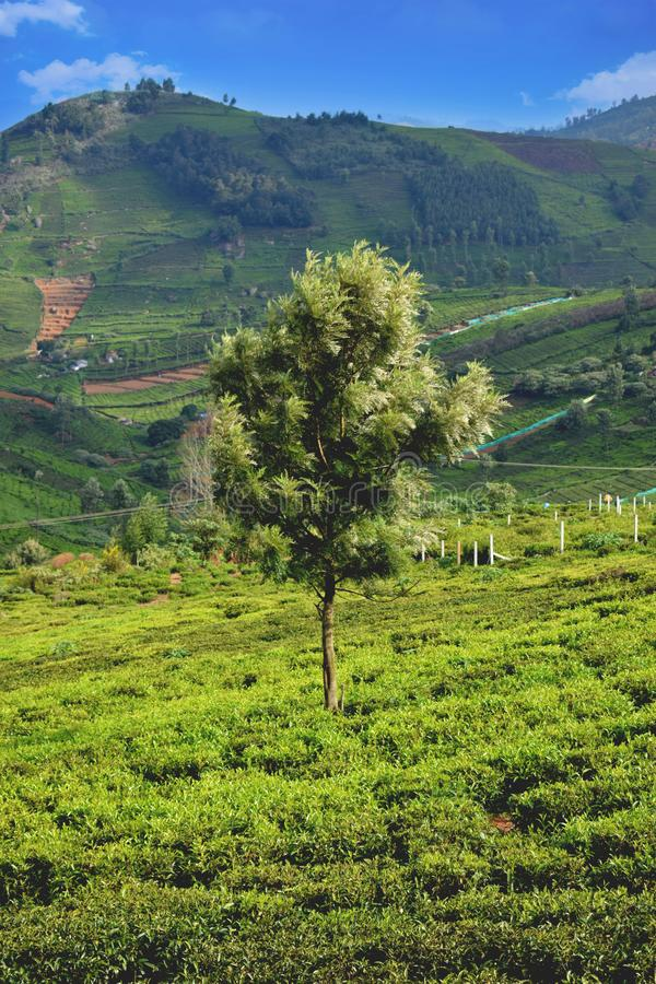 Un arbre simple sur le domaine ooty de thé photo libre de droits