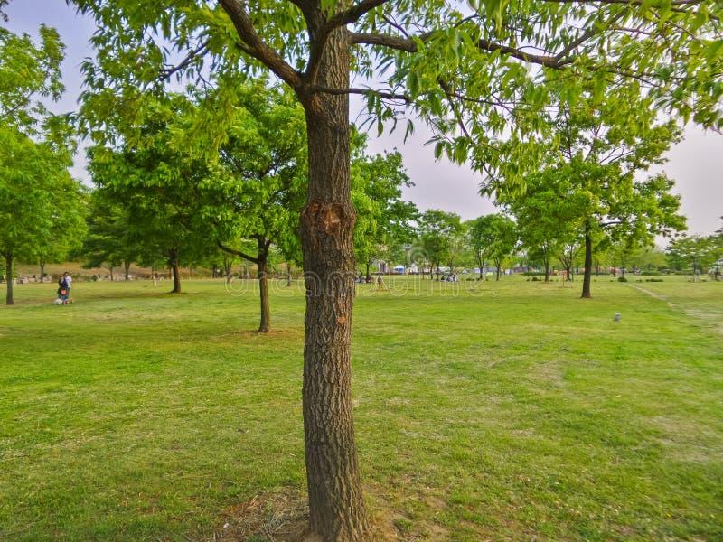 Un arbre sur l'herbe verte au parc de Hangang, Séoul, Corée du Sud photos libres de droits
