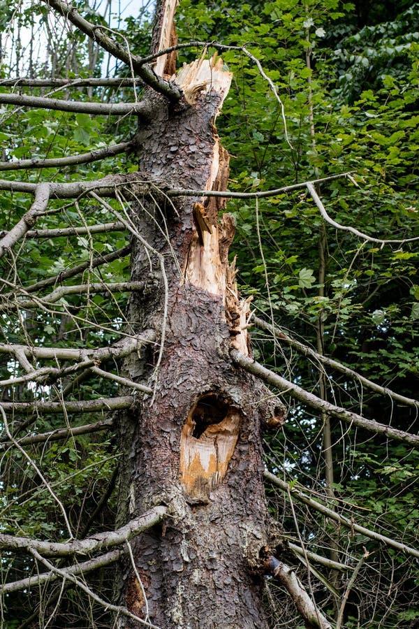 Un arbre tombé par le vent Un sapin énorme après un vent dans pour photos libres de droits