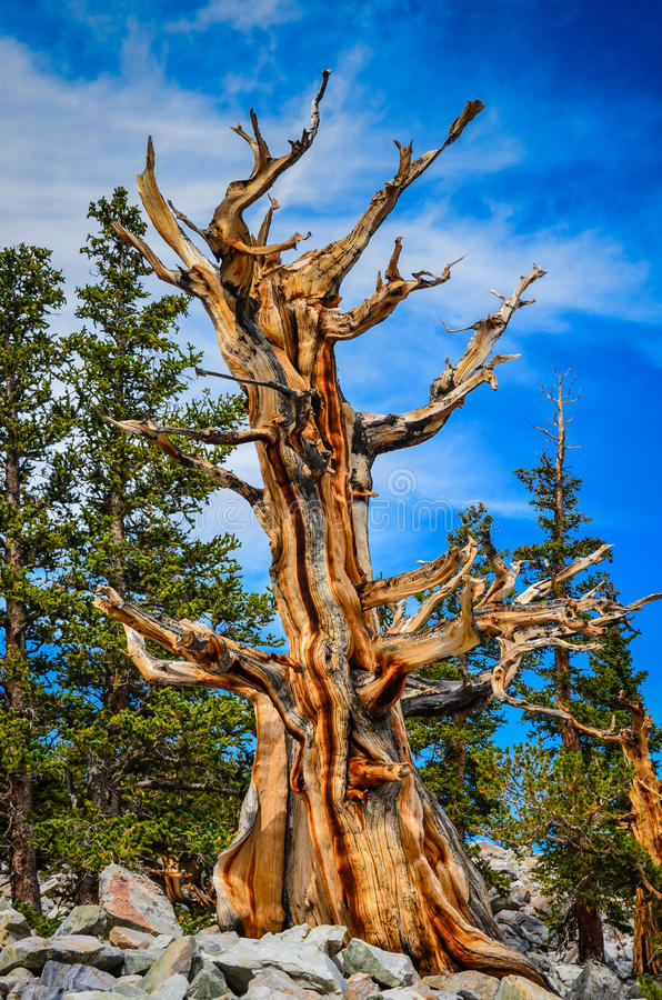 Un arbre - traînée de verger de pin de Bristlecone - grand bassin P national photos stock