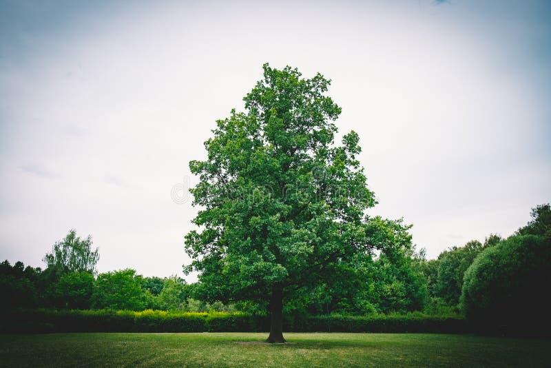 Un arbre vert isolé en parc photos stock