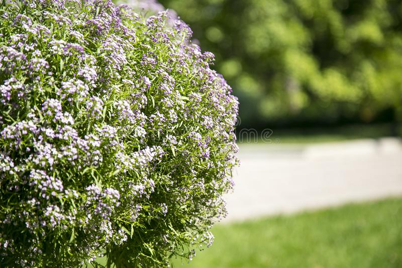 Un arbusto con las flores imagen de archivo libre de regalías