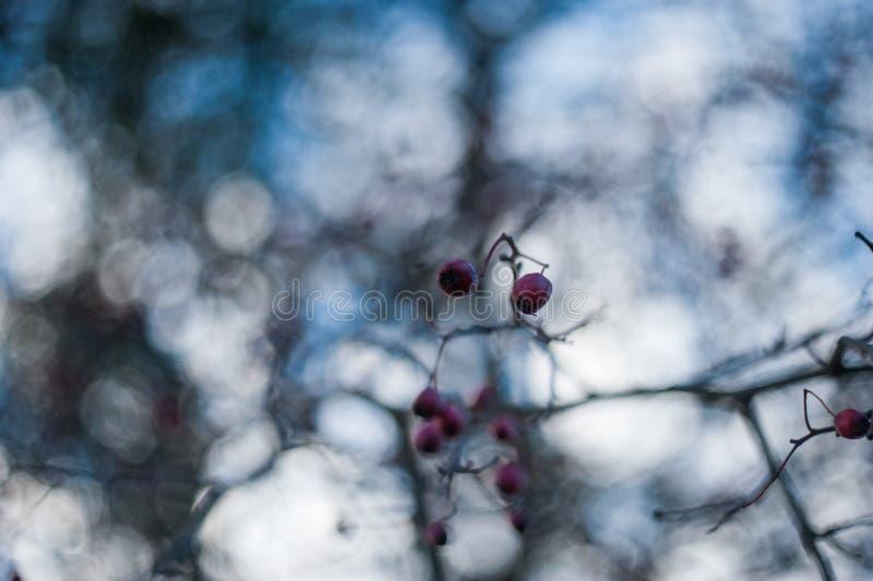 Un arbusto con las porciones de bayas rojas en ramas, fondo oto?al del Cotoneaster Arbustos salvajes del otoño colorido del prime imágenes de archivo libres de regalías