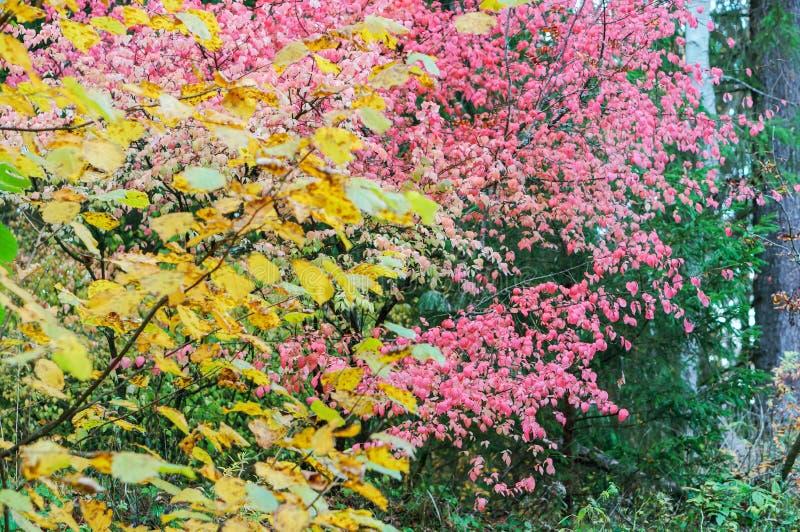 Un arbusto con le foglie rosa nella caduta, euonymus warty immagine stock libera da diritti