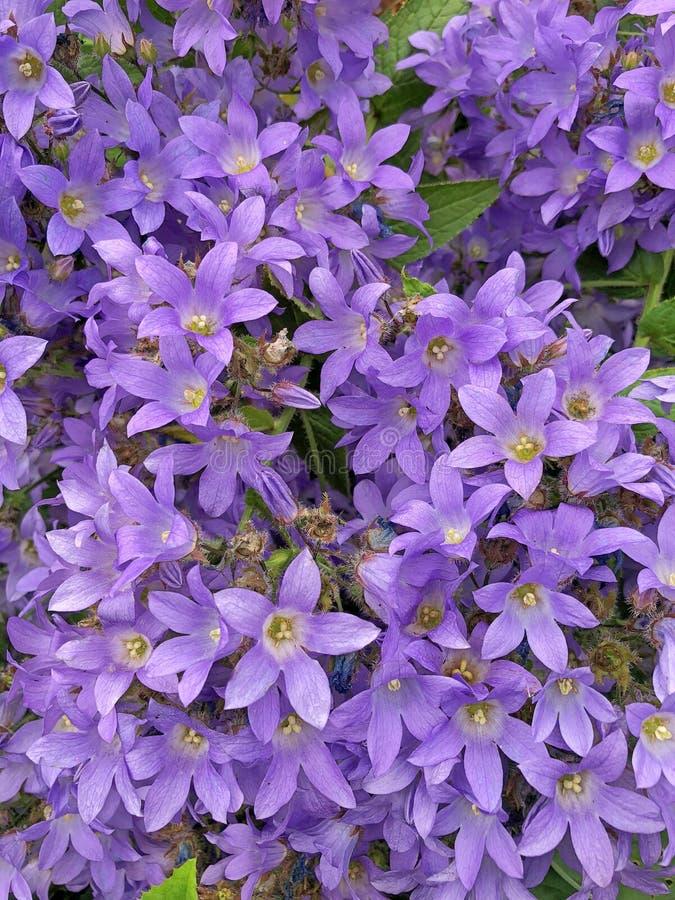 Un arbusto de florecimiento de la campánula azul violeta imagen de archivo libre de regalías