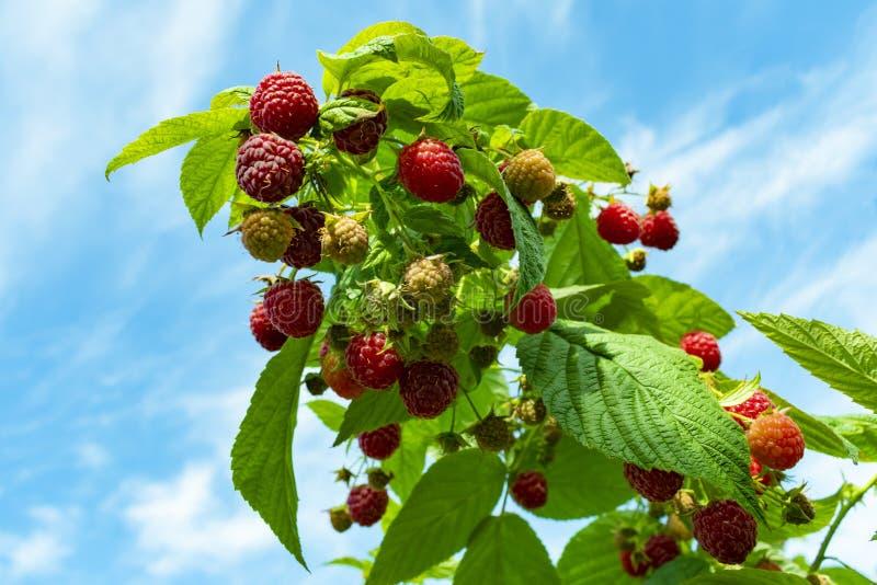 un arbusto de frambuesas con las bayas maduras y rojas fotografía de archivo libre de regalías