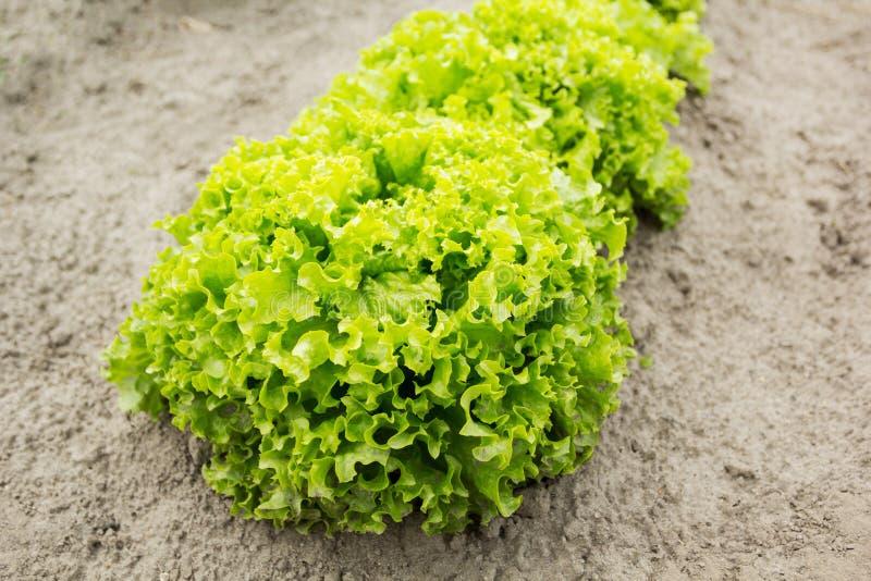 Un arbusto de la ensalada orgánica en la granja fotografía de archivo libre de regalías