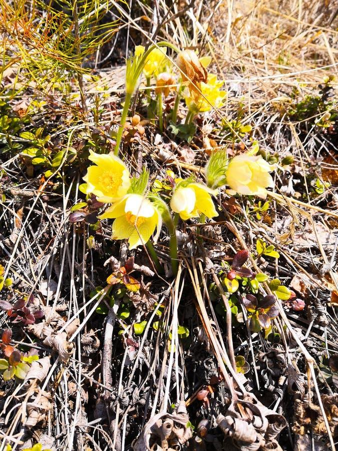 Un arbusto de las flores de snowdrops amarillos en el claro Resorte temprano siberia imagenes de archivo