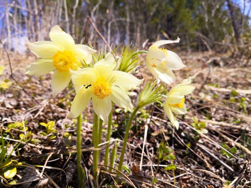 Un arbusto de las flores de snowdrops amarillos en el claro Resorte temprano siberia fotografía de archivo libre de regalías