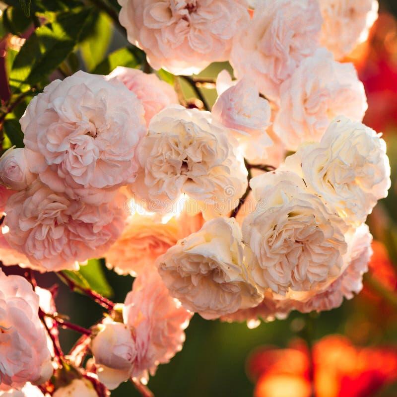 Un arbusto de las rosas blancas fotografía de archivo libre de regalías