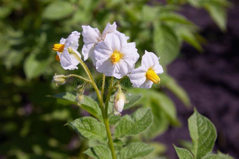 Un arbusto de patatas con las flores blancas brillantes Patatas florecientes foto de archivo