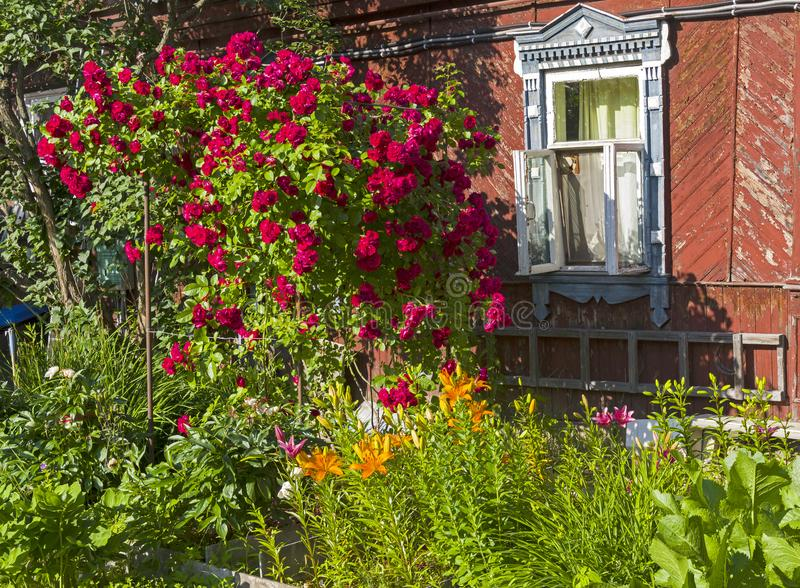 Un arbusto de subir floreciente subió cerca de la pared de un viejo RUR foto de archivo libre de regalías