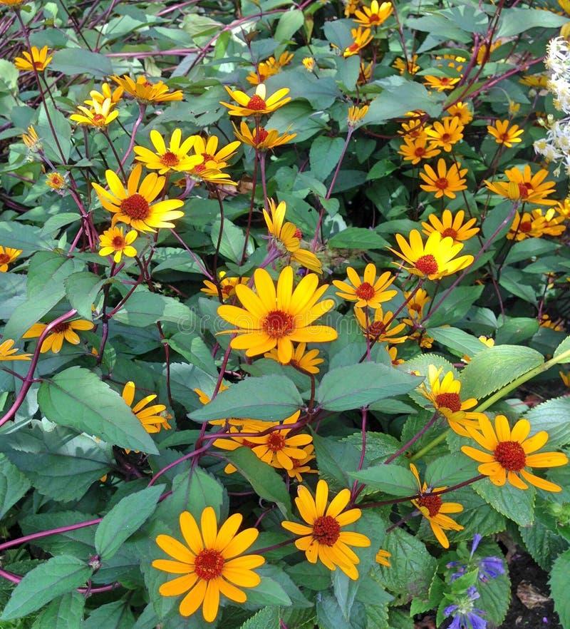 Un arbusto floreciente de Heliano fotos de archivo