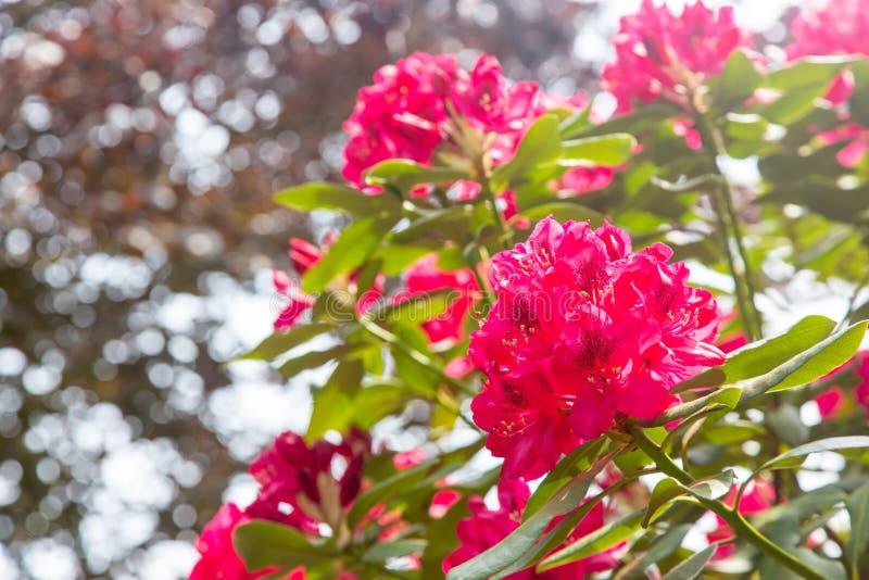 Un arbusto rojo floreciente del rododendro foto de archivo libre de regalías