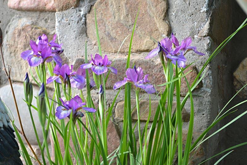Un arbusto solo del iris parecerá bueno contra la perspectiva de un césped o de una pared imagen de archivo libre de regalías