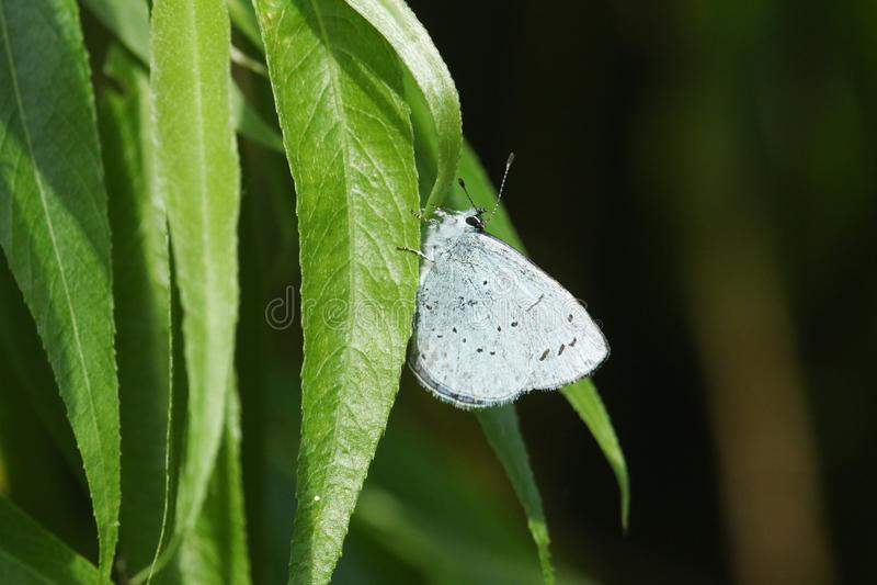 Un argiolus bonito de Holly Blue Butterfly Celastrina que se encarama en una hoja del sauce imagen de archivo libre de regalías