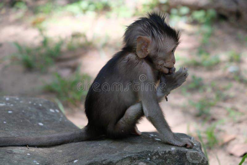 Un asiento en una roca, Angkor, Camboya del mono del bebé imágenes de archivo libres de regalías