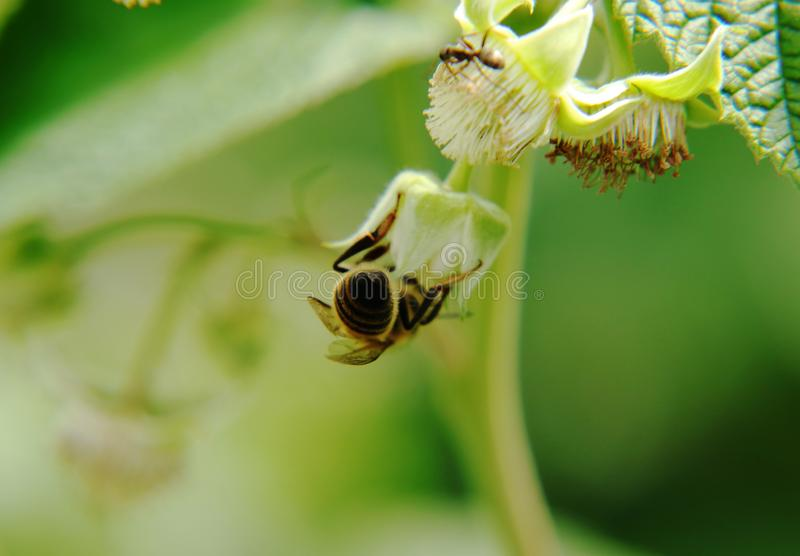 Un asino dei beedel miele dell'europeo e considera la fioritura impollinata del lampone fotografia stock