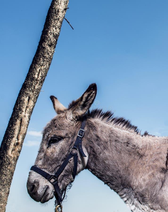 Un asino e un albero dalla fine alta immagine stock libera da diritti
