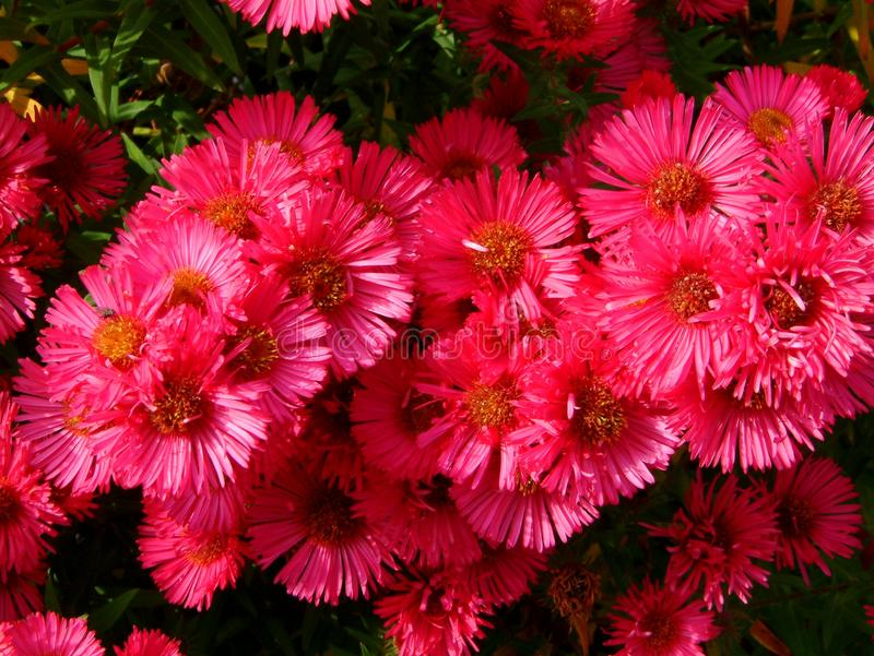 Un aster rose dans le jardin image stock