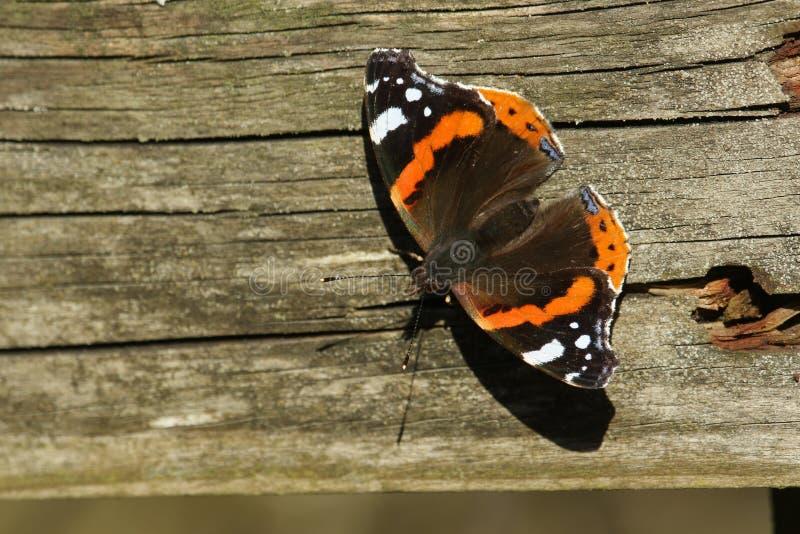 Un atalanta renversant d'amiral rouge Butterfly Vanessa se chauffant sur une barrière en bois un jour ensoleillé d'hivers images libres de droits