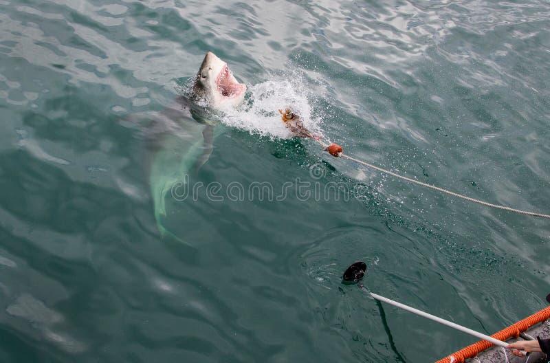 Un ataque del tiburón blanco imagen de archivo libre de regalías