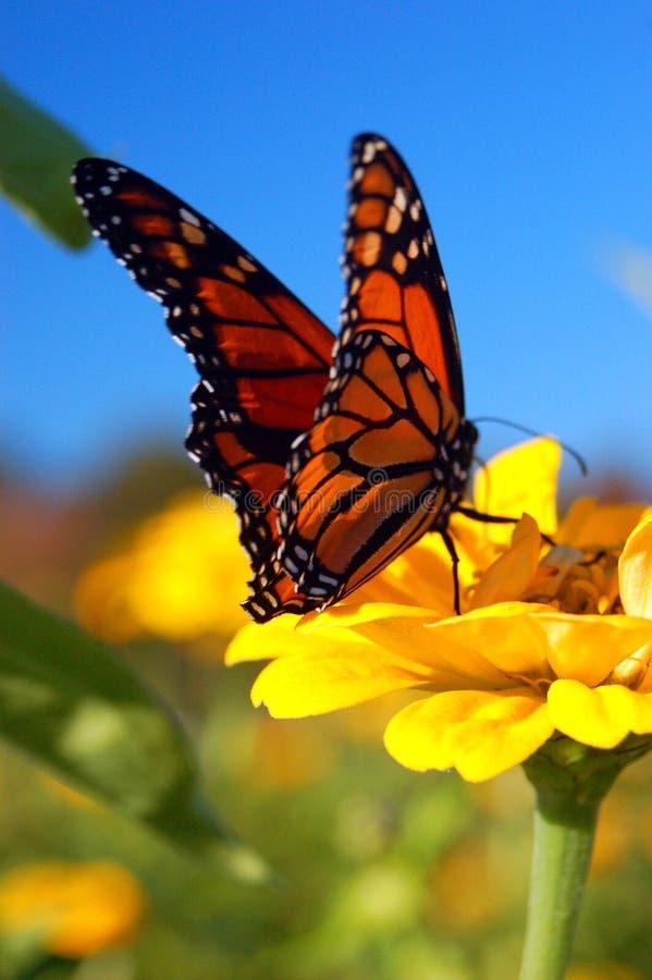 Un atterraggio della farfalla di monarca su un fiore fotografia stock libera da diritti