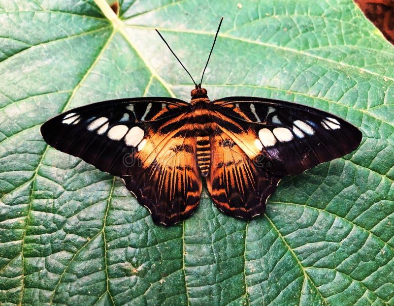 Un atterrissage brun de papillon de tondeuse sur une feuille image stock