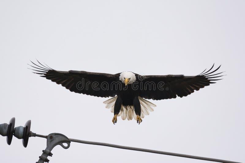 Un atterrissage d'Eagle chauve sur un câble hydraulique images libres de droits