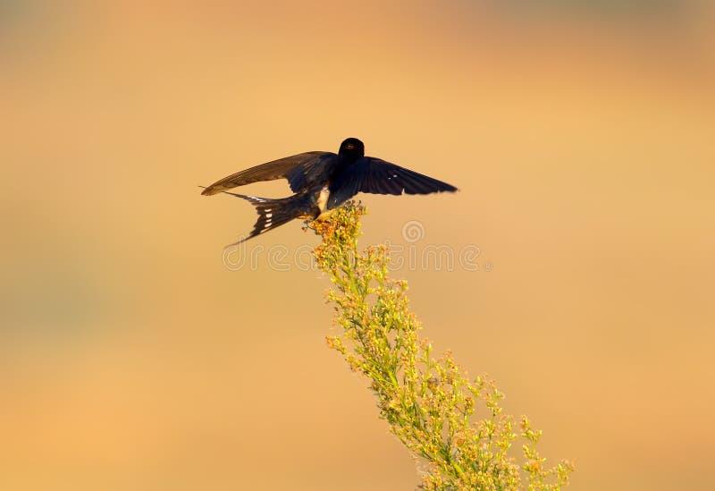 Un atterrissage d'hirondelle de grange sur la plante verte photos libres de droits