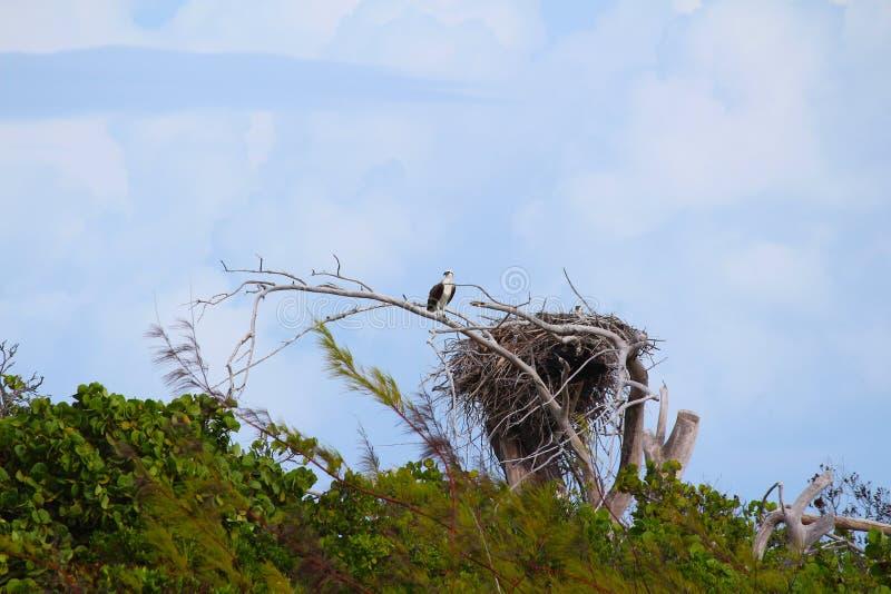 Un ave rapaz en la jerarquía en una isla caribeña, Bahamas foto de archivo