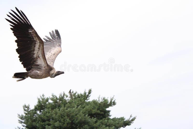 Un avvoltoio immagini stock libere da diritti