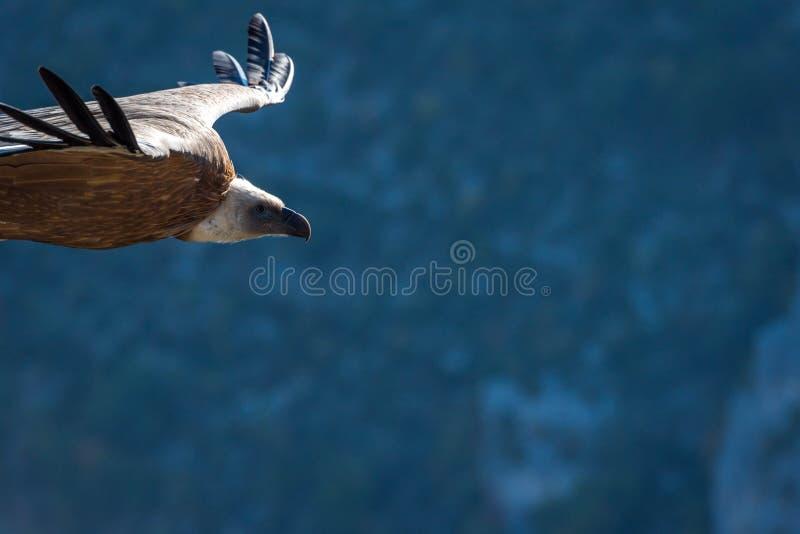Un avvoltoio in volo immagini stock