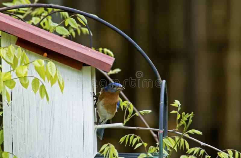 Un azulejo comprueba hacia fuera sus huevos en nidal. foto de archivo
