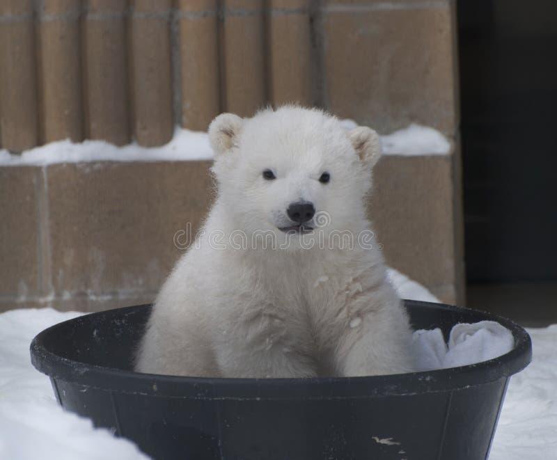 Ours blanc de bébé photos stock
