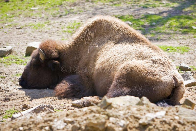 Un búfalo americano imagen de archivo