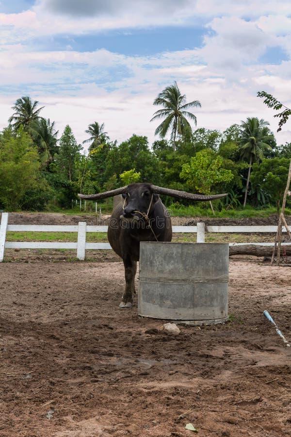 Un búfalo en una granja imagen de archivo