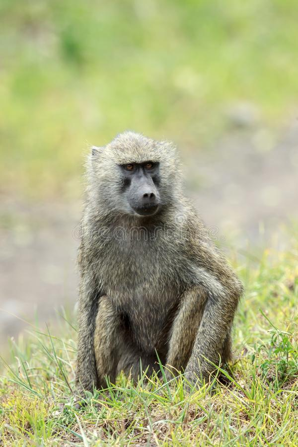 Un babouin olive se reposant sur l'herbe photos libres de droits