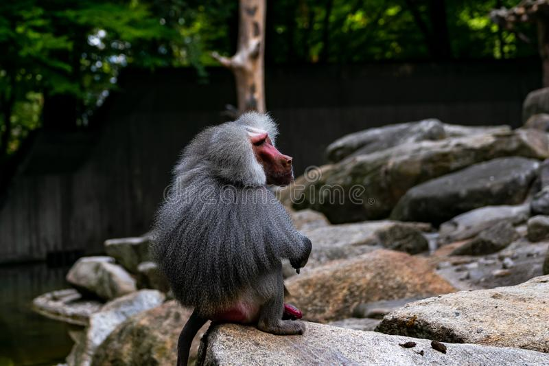 Un babuino de la capa se está sentando en una roca fotografía de archivo